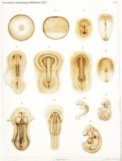 Thỏ - do họa sĩ khác vẽ, không phải Haeckel ;) (Charles Minot & Edmin Taylor, 1905