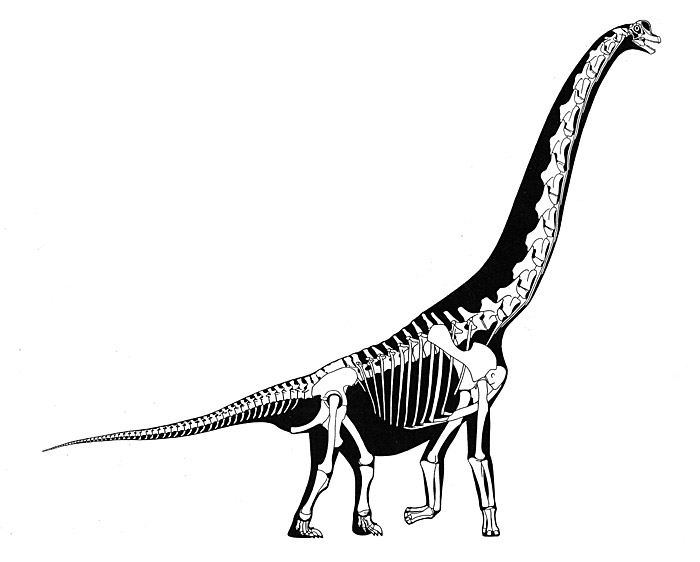 46.sauropod-skeleton-large