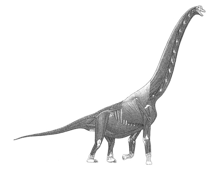 47.sauropod-muscles-large